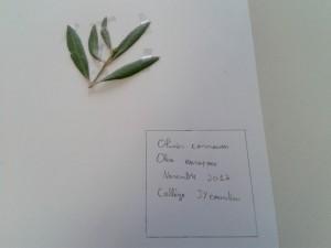 herbier-feuille