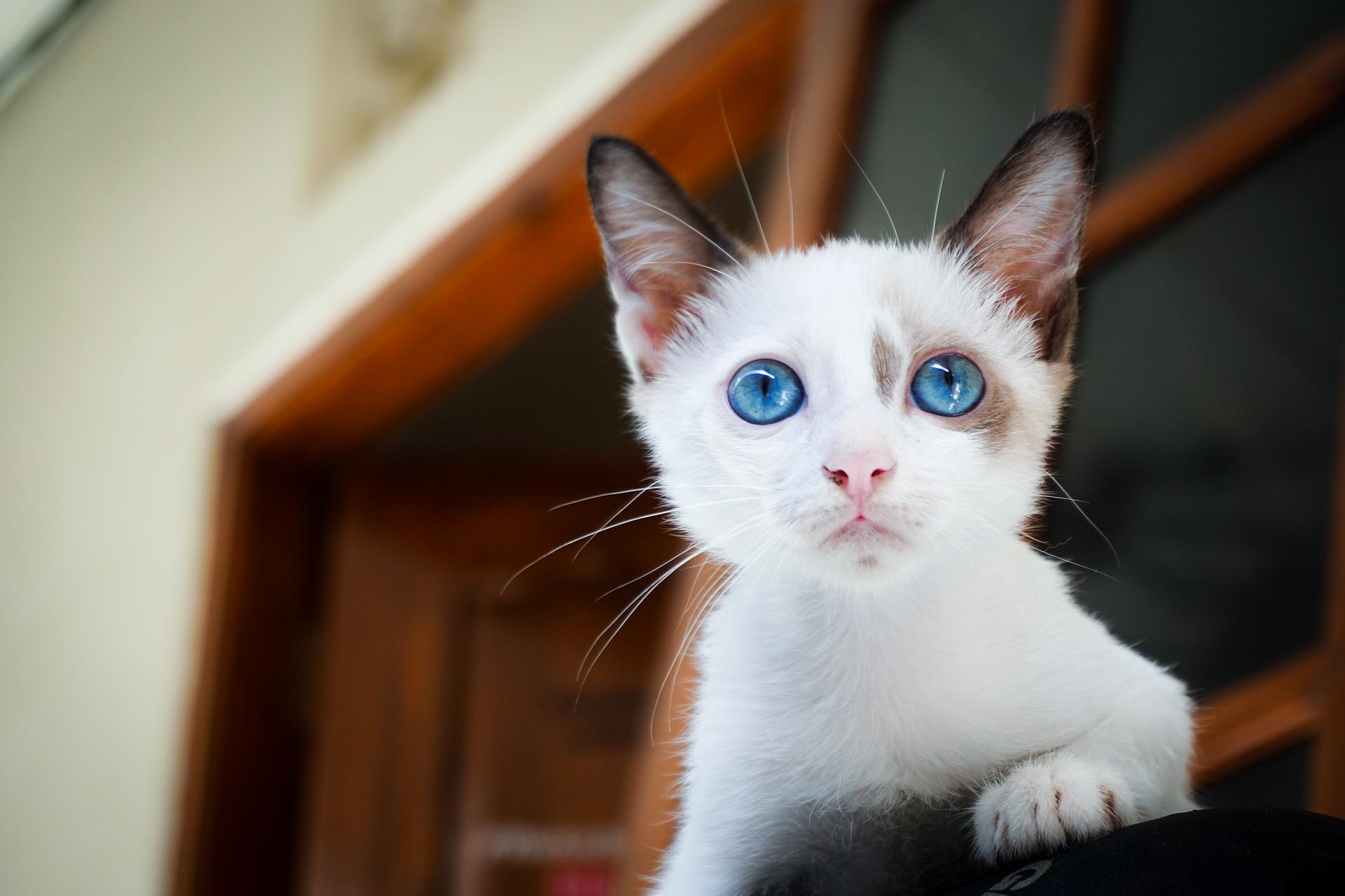 Chaton blanc aux yeux bleus sur le rebord d'une fenêtre