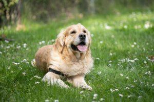 une golden retriever couché dans l'herbe